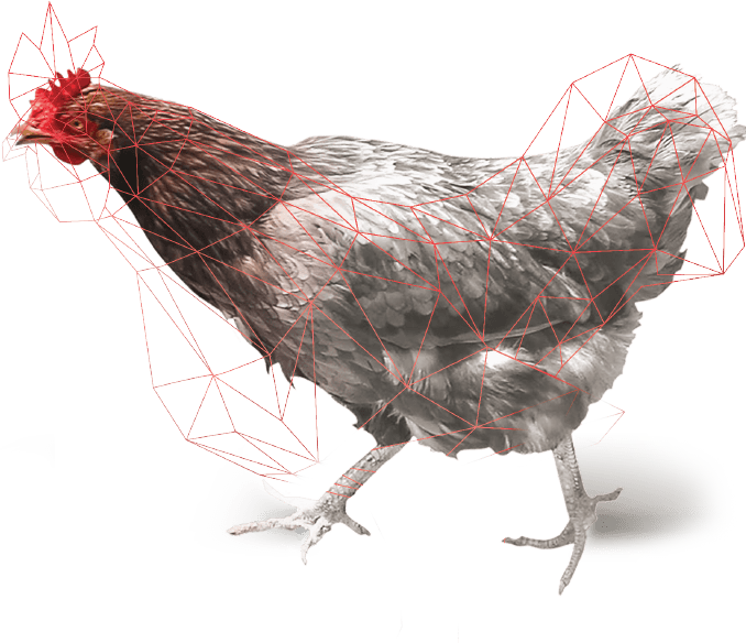 Chicken graphic